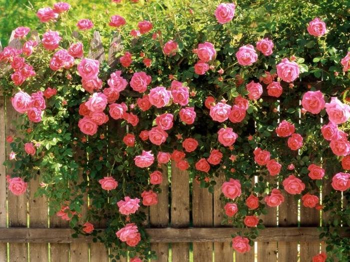 lap dan y ta cay hoa hong - Lập dàn ý tả cây hoa hồng