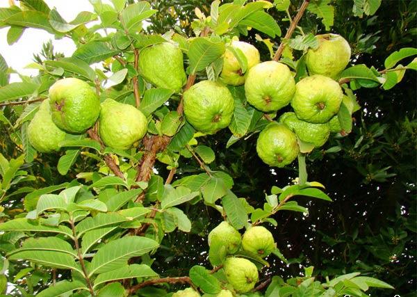 Tả cây ăn quả lớp 2
