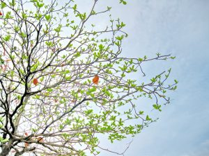 Tả cây bàng vào mùa xuân