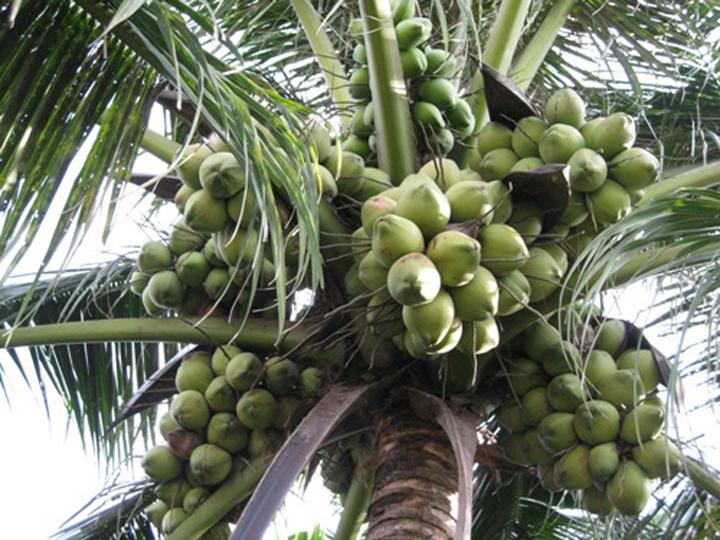 ta cay dua em thay - Tả cây dừa em thấy