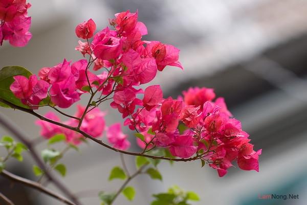 Tả cây hoa giấy mà em biết