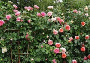 Tả cây hoa hồng mà em thích