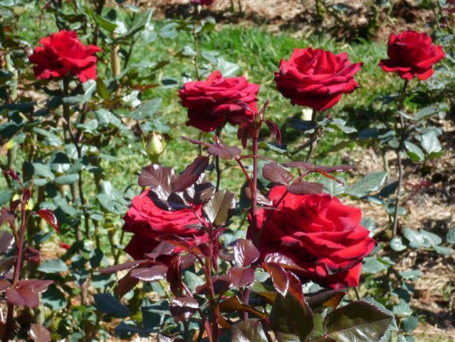 Tả cây hoa hồng nhung