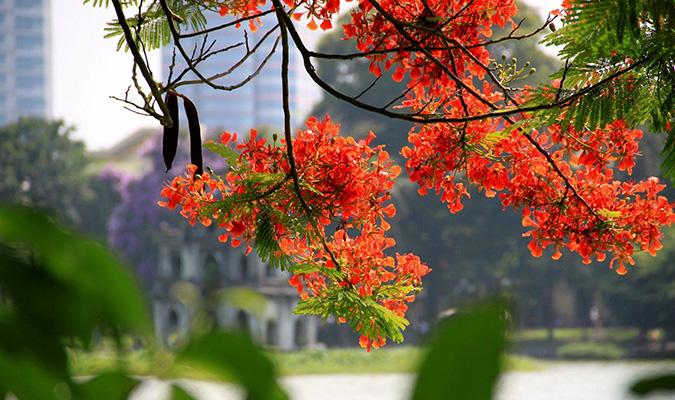 bieu cam cay phuong - MS349 - Biểu cảm về cây hoa phượng